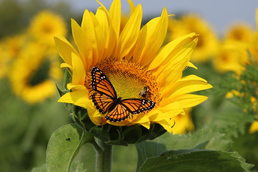 46755661 - monarch and a bee on a sunflower